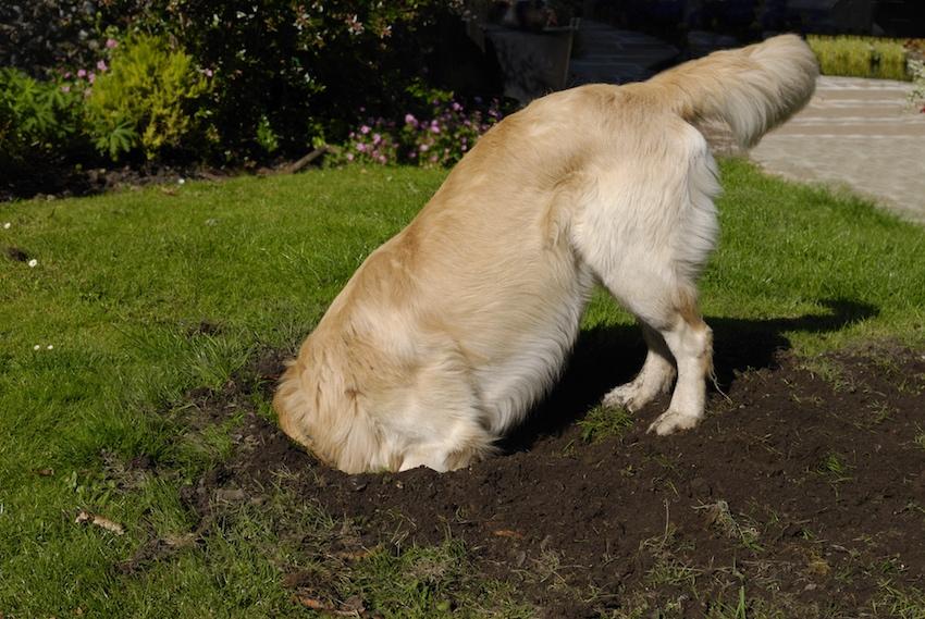 Golden Retriever buddelt ein Loch im Garten