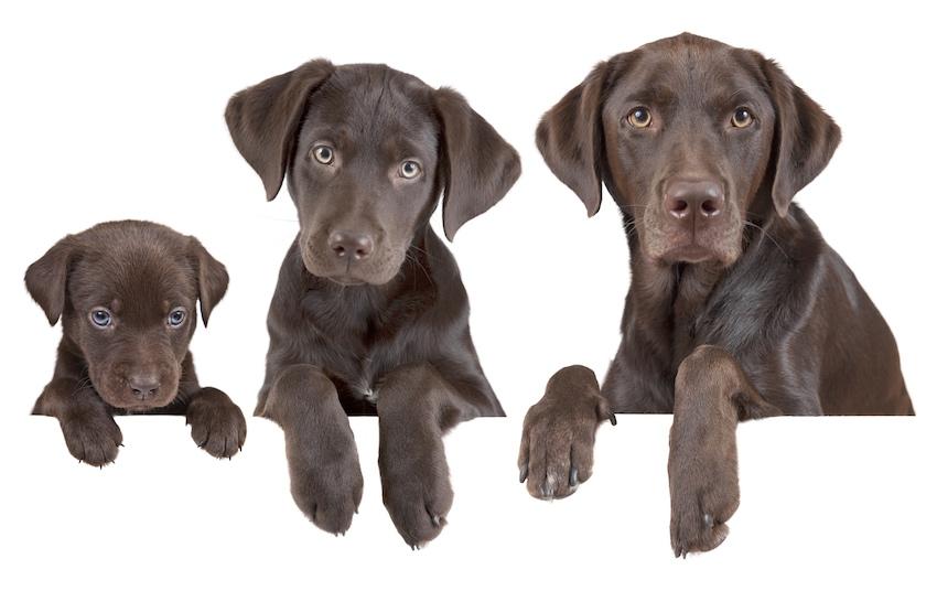 Ein schokoladenbrauner Labrador in drei verschiedenen Wachstumsstufen