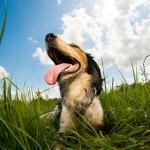 Warum Hunde hecheln