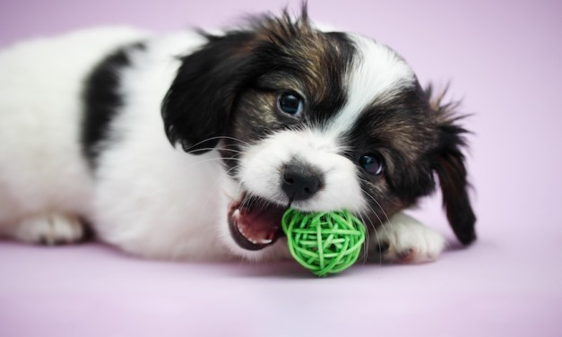 Warum Hunde als Welpen alles anknabbern