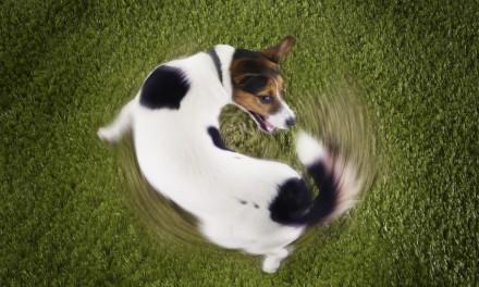 Warum Hunde ihrem eigenen Schwanz nachjagen