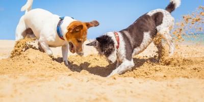 Warum Hunde graben und buddeln